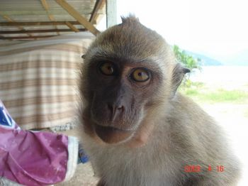batu ferringi monkey 1.jpg